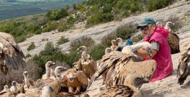 Buitres leonados comiendo en Santa Cilia